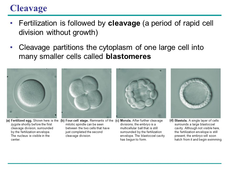 Cleavage Fertilization is followed by cleavage (a period of rapid cell division without growth)