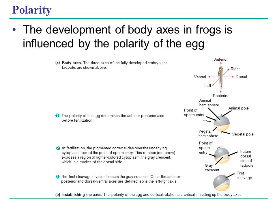 Polarity The development of body axes in frogs is influenced by the polarity of the egg. Anterior.