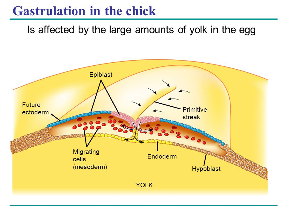 Gastrulation in the chick