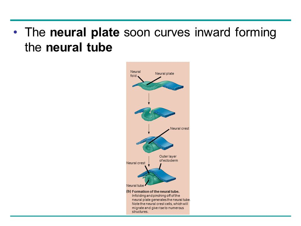 The neural plate soon curves inward forming the neural tube