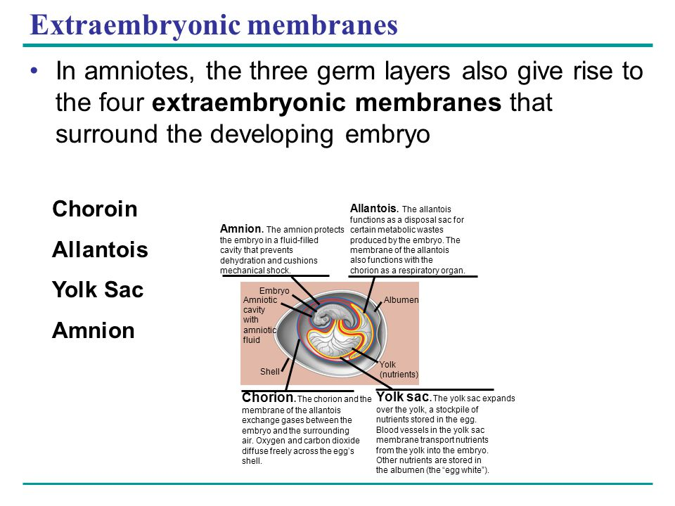 Extraembryonic membranes