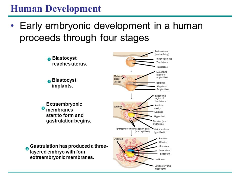 Early embryonic development in a human proceeds through four stages