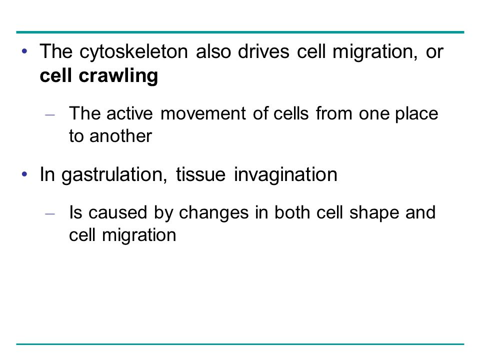 The cytoskeleton also drives cell migration, or cell crawling