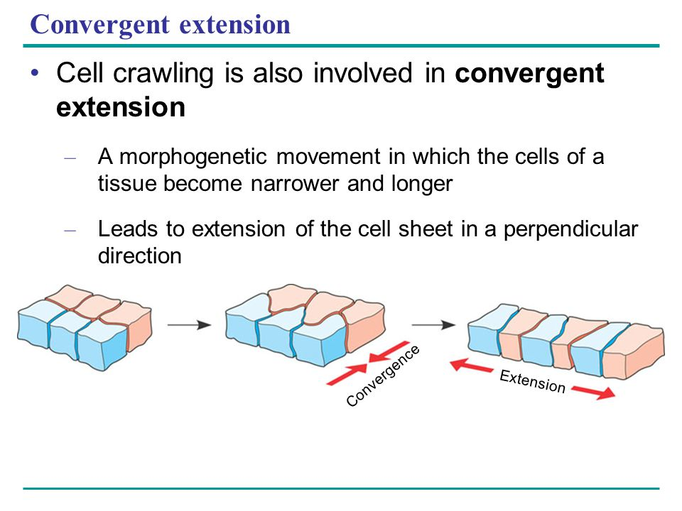 Cell crawling is also involved in convergent extension