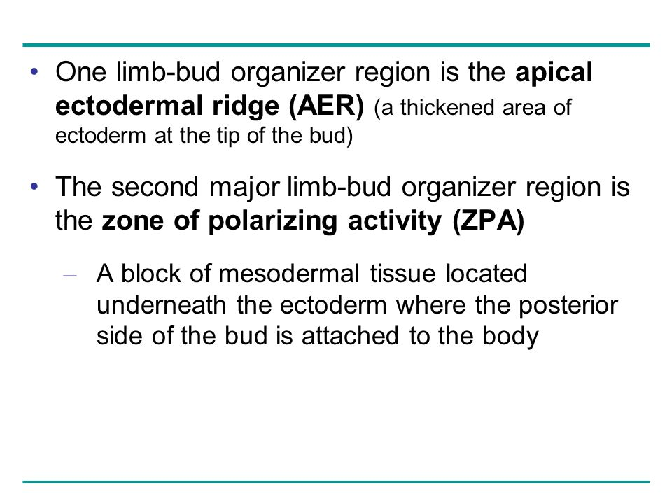 One limb-bud organizer region is the apical ectodermal ridge (AER) (a thickened area of ectoderm at the tip of the bud)