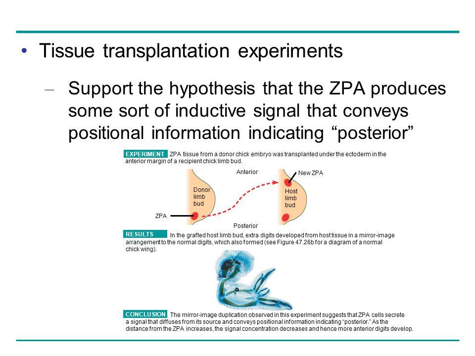 Tissue transplantation experiments