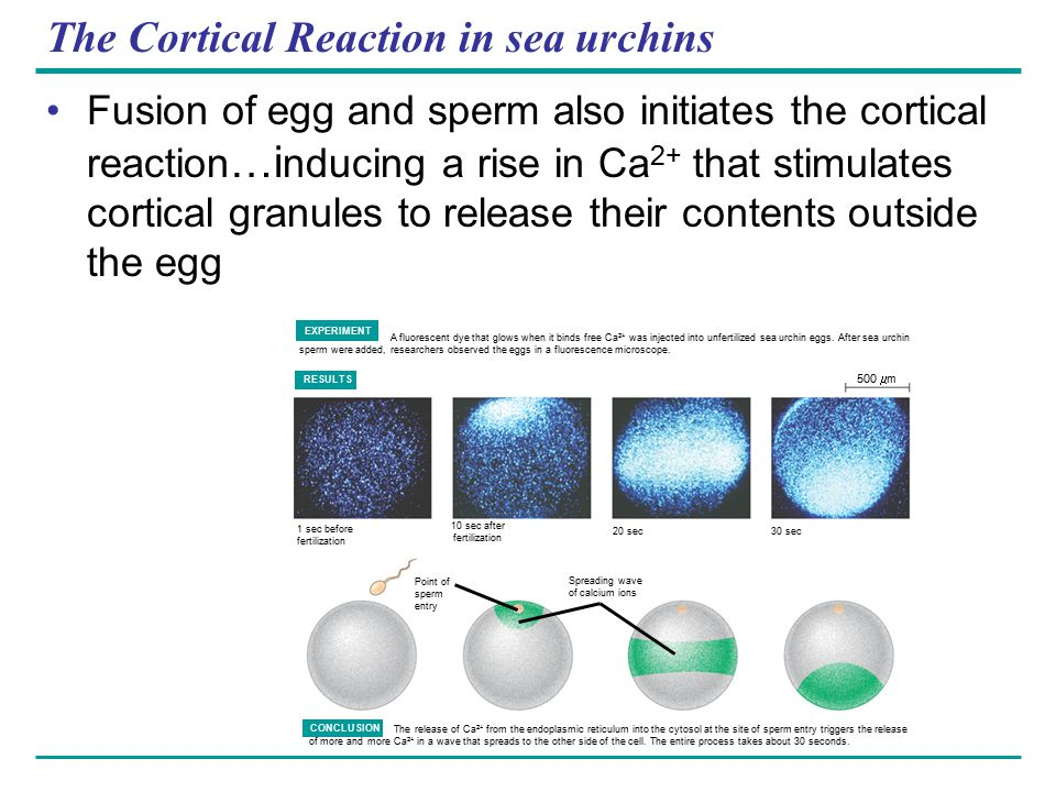 The Cortical Reaction in sea urchins