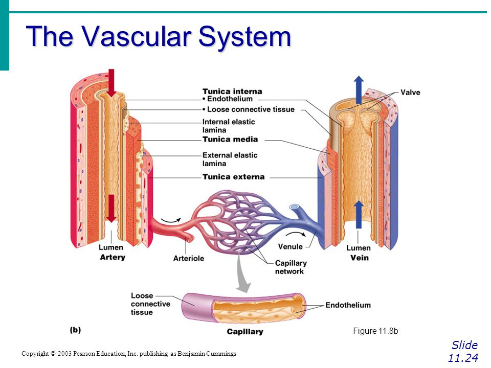 The Vascular System Slide 11.24 Figure 11.8b