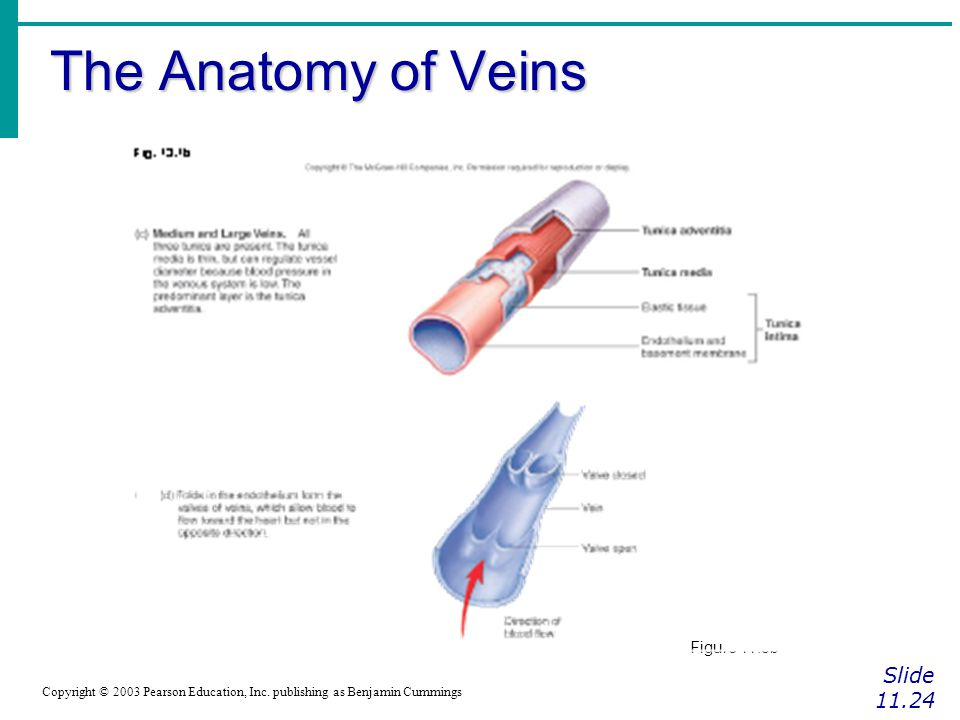 The Anatomy of Veins Slide 11.24 Figure 11.8b