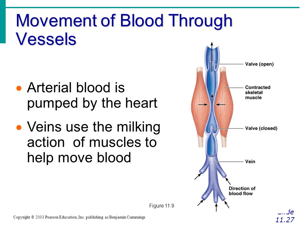 Movement of Blood Through Vessels