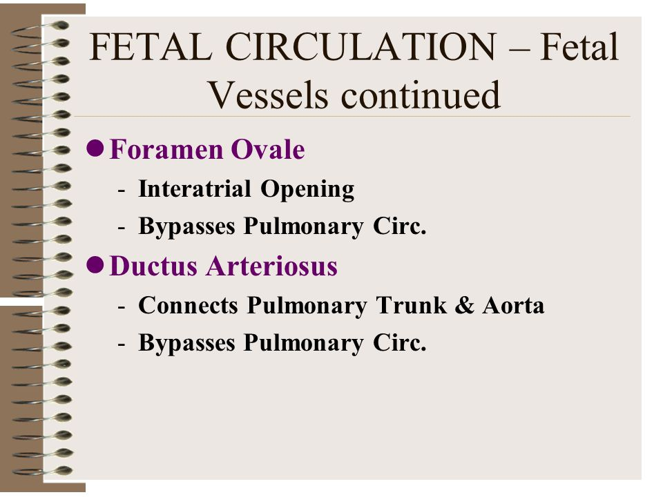 FETAL CIRCULATION – Fetal Vessels continued
