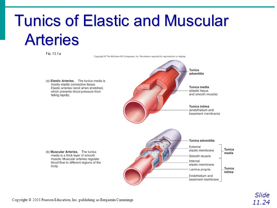 Tunics of Elastic and Muscular Arteries