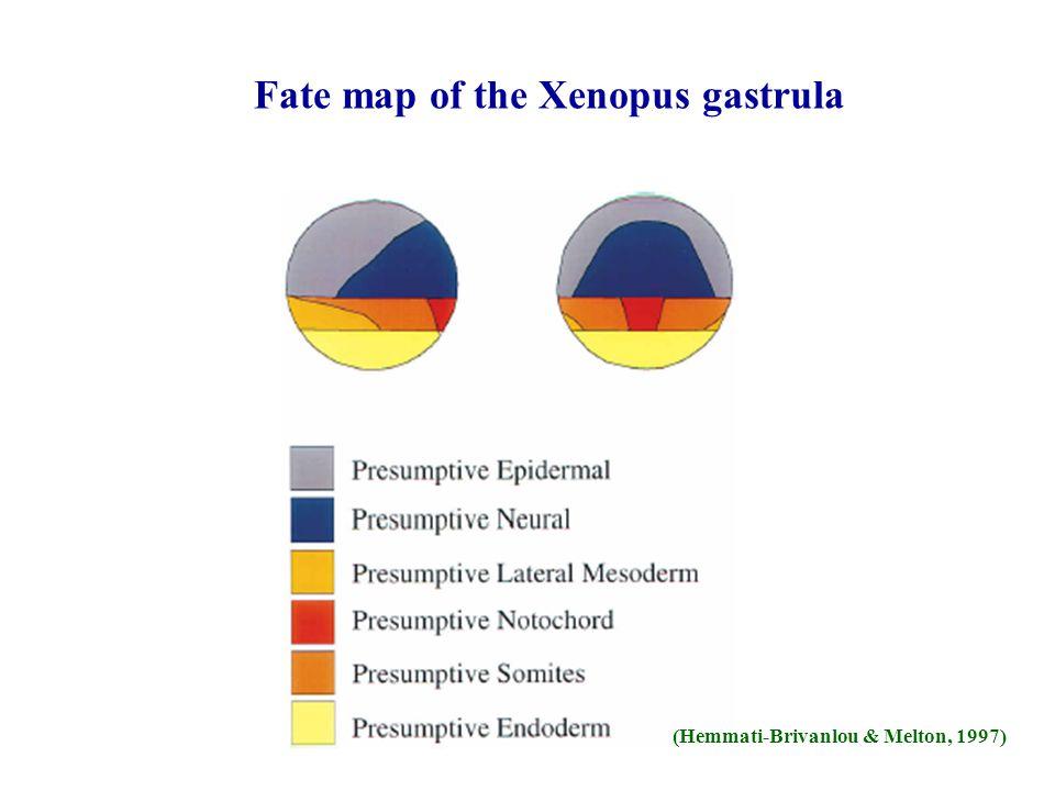 Fate map of the Xenopus gastrula (Hemmati-Brivanlou & Melton, 1997)