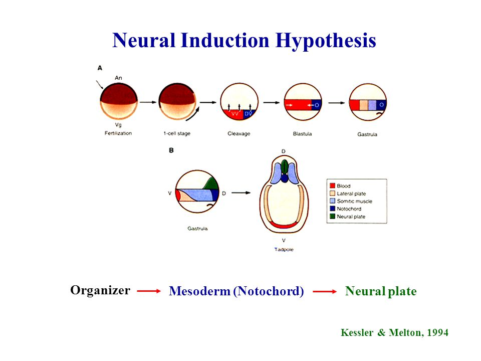 Neural Induction Hypothesis