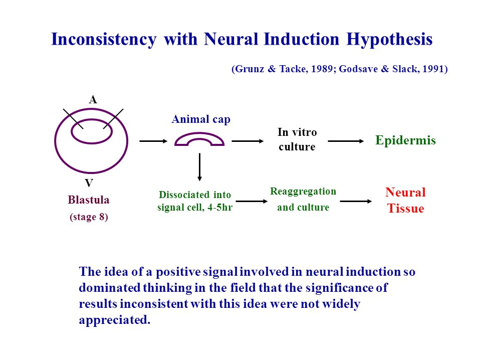 Inconsistency with Neural Induction Hypothesis