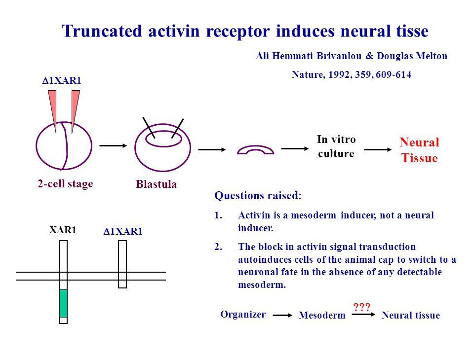 Truncated activin receptor induces neural tisse