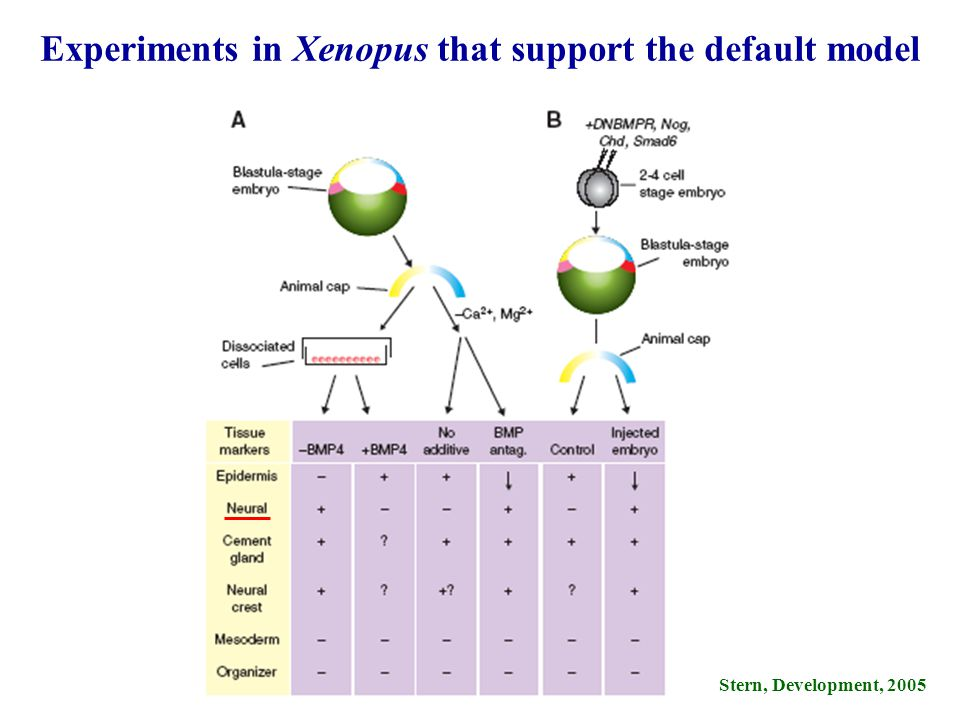 Experiments in Xenopus that support the default model