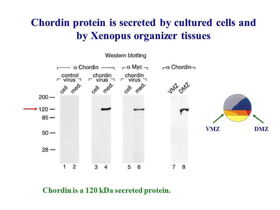 Chordin protein is secreted by cultured cells and by Xenopus organizer tissues