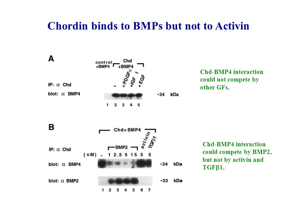 Chordin binds to BMPs but not to Activin