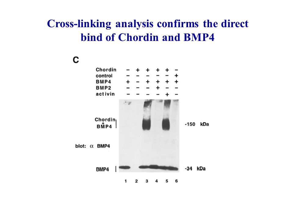 Cross-linking analysis confirms the direct bind of Chordin and BMP4