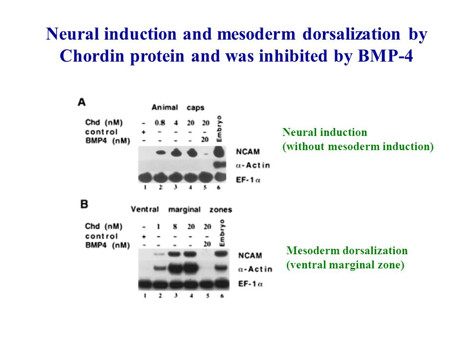 Neural induction and mesoderm dorsalization by Chordin protein and was inhibited by BMP-4