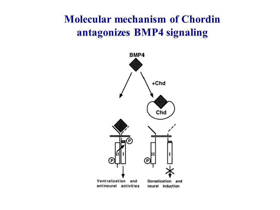Molecular mechanism of Chordin antagonizes BMP4 signaling