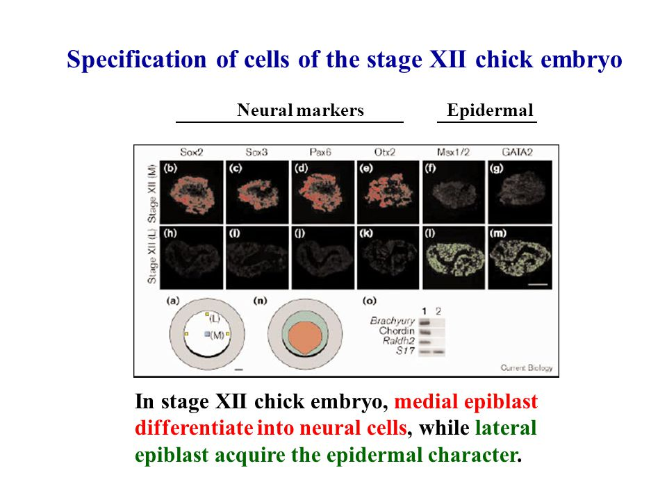 Specification of cells of the stage XII chick embryo