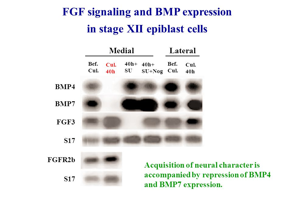 FGF signaling and BMP expression in stage XII epiblast cells