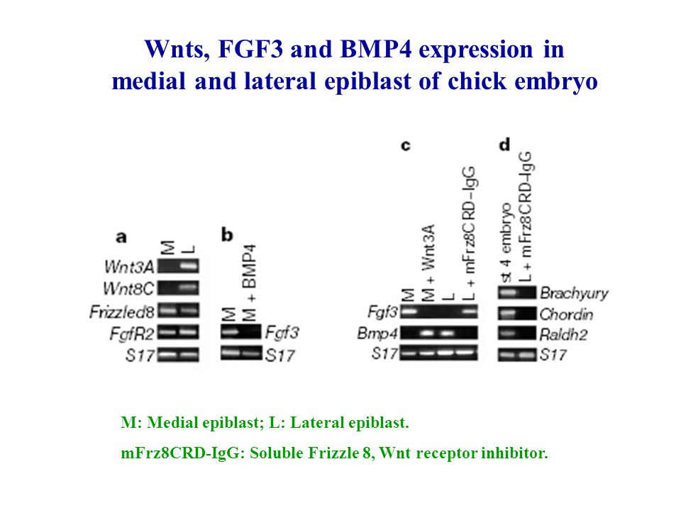 Wnts, FGF3 and BMP4 expression in medial and lateral epiblast of chick embryo