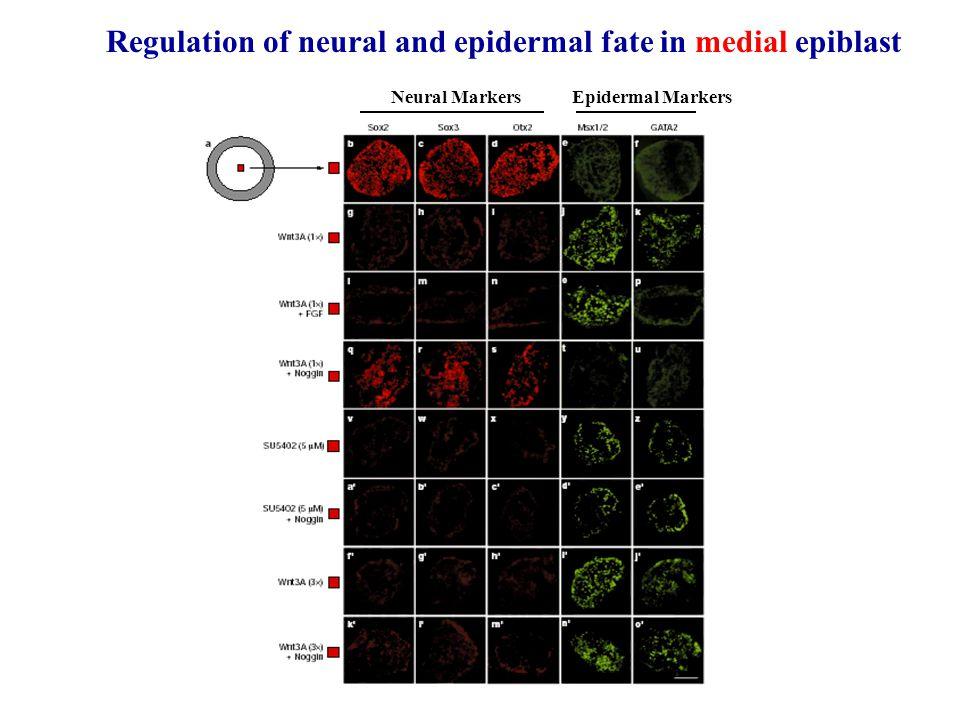 Regulation of neural and epidermal fate in medial epiblast
