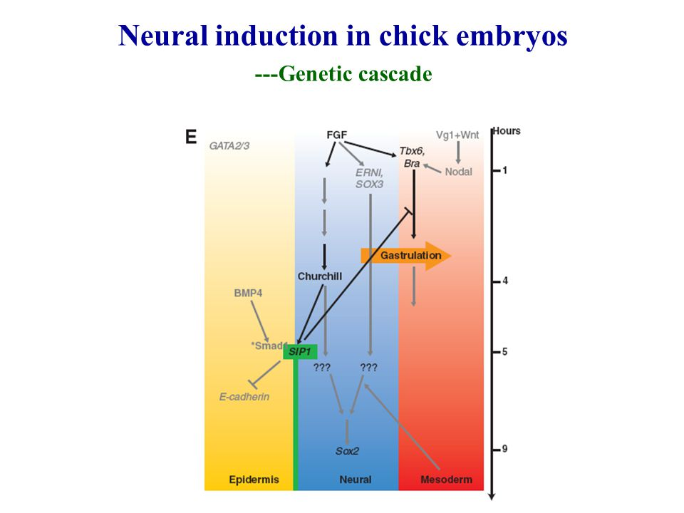 Neural induction in chick embryos