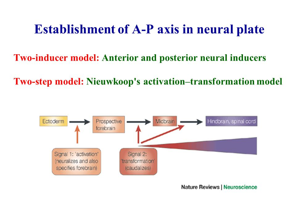 Establishment of A-P axis in neural plate