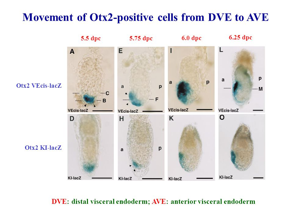 Movement of Otx2-positive cells from DVE to AVE