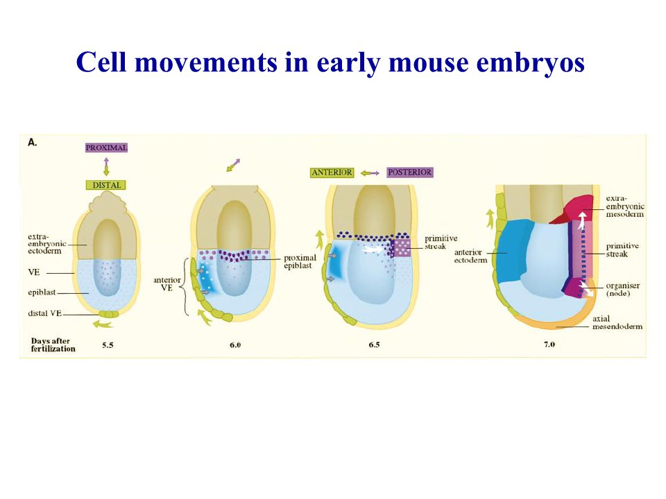 Cell movements in early mouse embryos