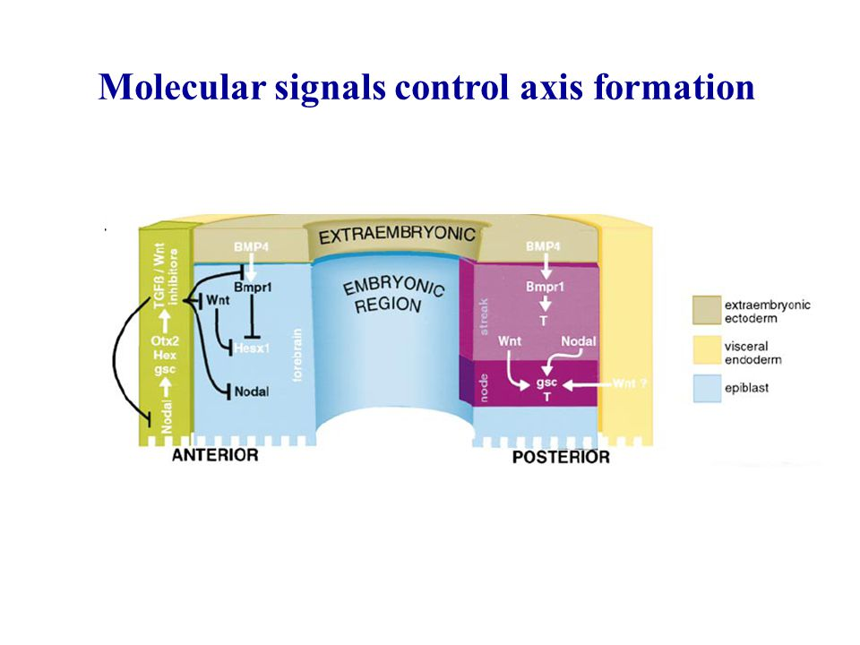 Molecular signals control axis formation