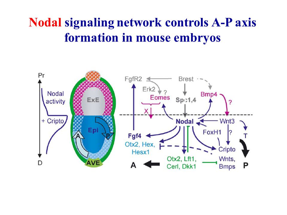 Nodal signaling network controls A-P axis formation in mouse embryos