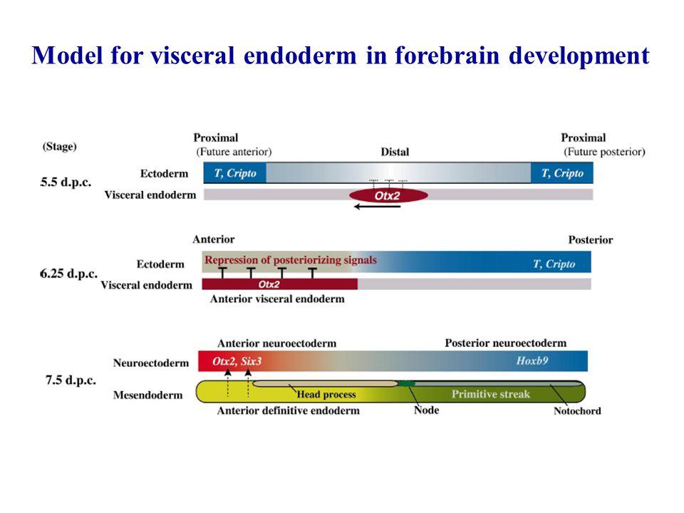 Model for visceral endoderm in forebrain development