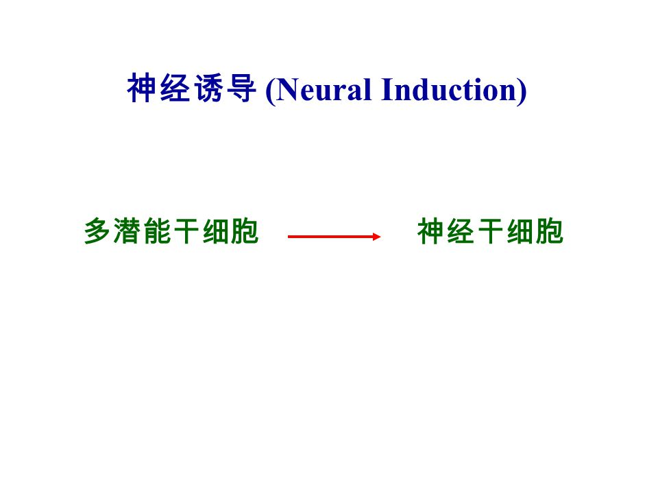 神经诱导 (Neural Induction)