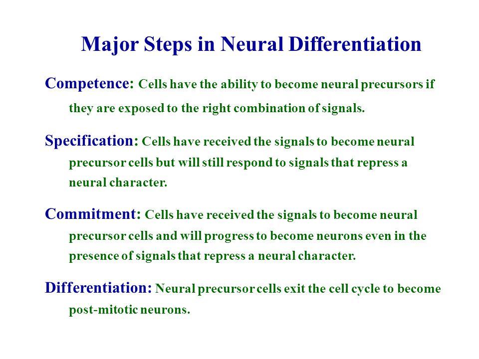 Major Steps in Neural Differentiation