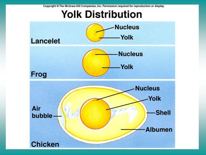Yolk distribution in amniotic eggs affects blastula development