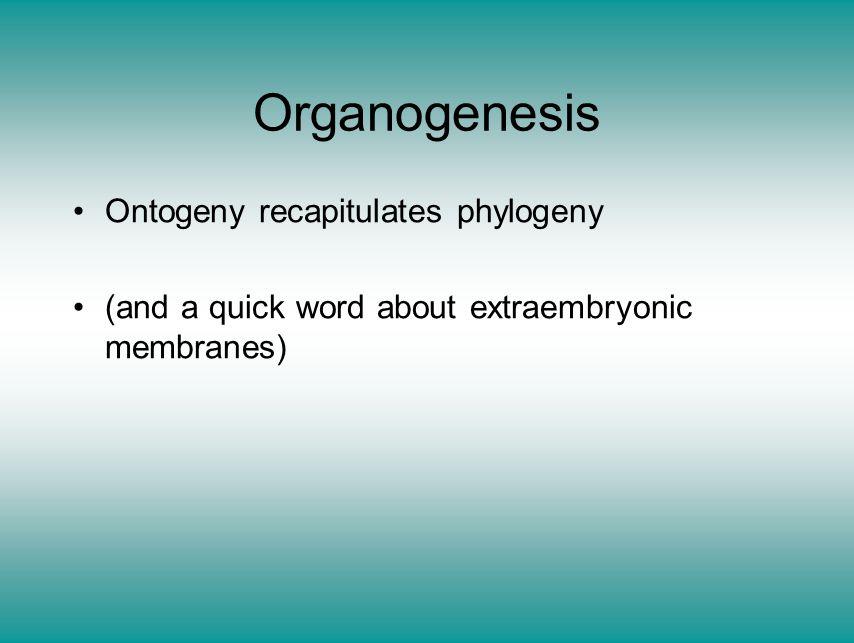 Organogenesis Ontogeny recapitulates phylogeny