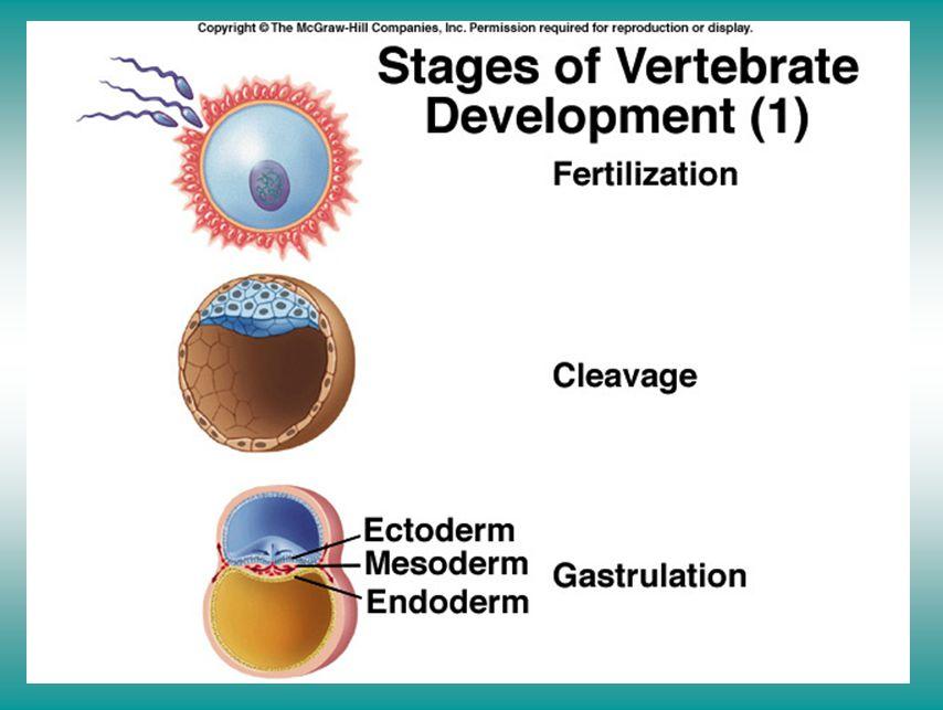 Stage of vertebrate development (I)