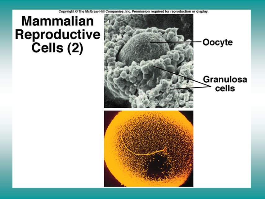 Fertilization (II)
