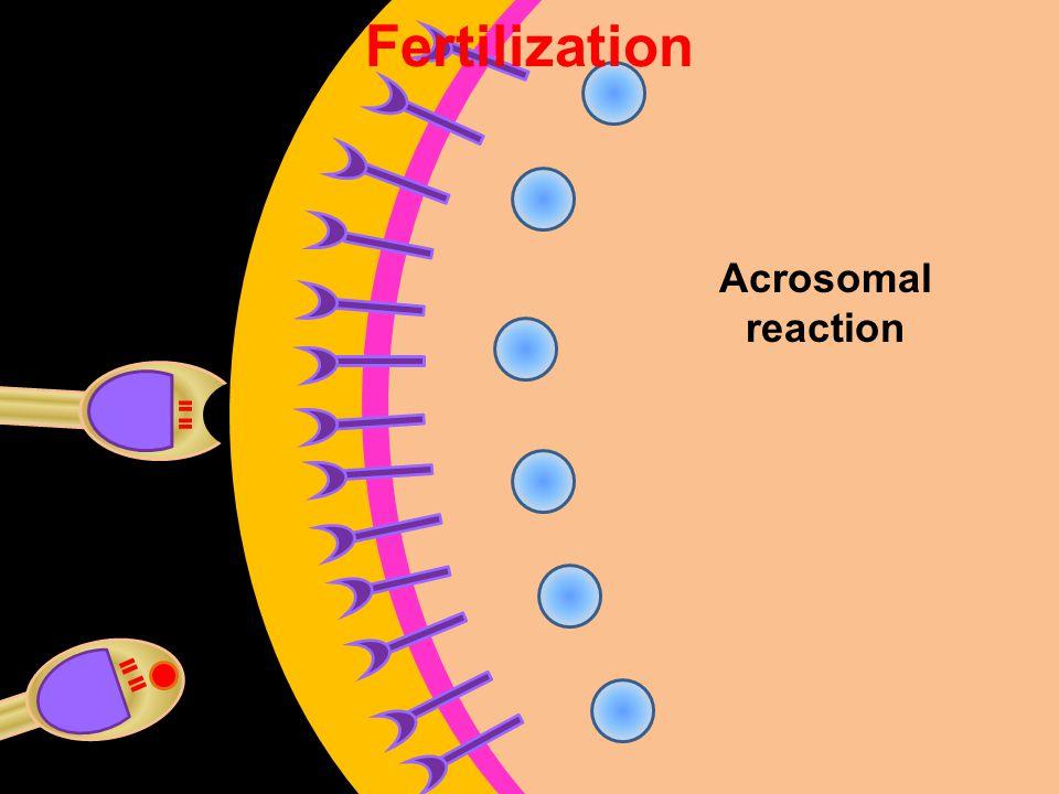 Fertilization Acrosomal reaction