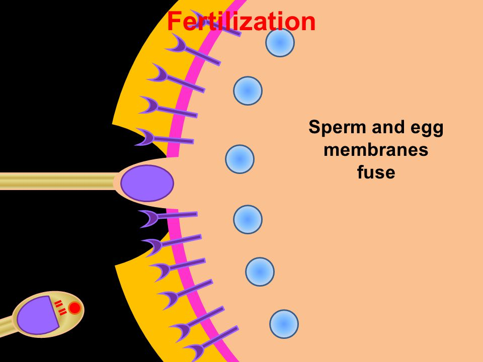 Sperm and egg membranes fuse