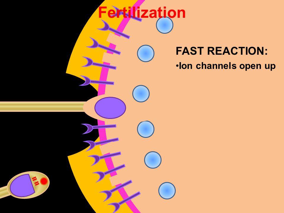 Fertilization FAST REACTION: Ion channels open up