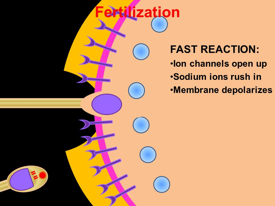 Fertilization FAST REACTION: Ion channels open up Sodium ions rush in