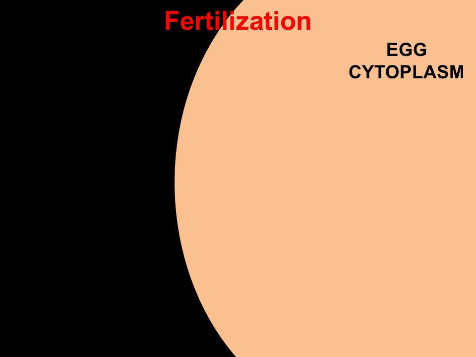 Fertilization EGG CYTOPLASM