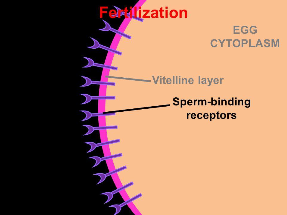 Sperm-binding receptors
