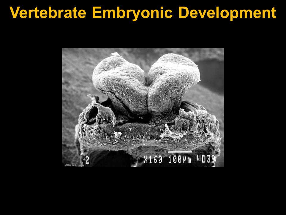 Vertebrate Embryonic Development